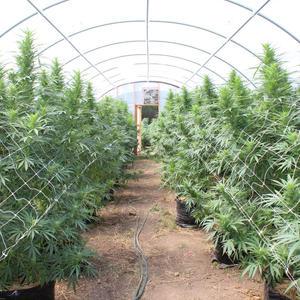 SC FARMS AND ORGANIC CANNABIS FARMING | California Weed Blog
